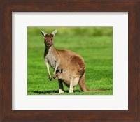 Kangaroo Fine Art Print
