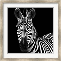 Zebra II Square Fine Art Print