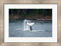 Canada, Vancouver Island, Sydney Killer whale slaps its tail Fine Art Print
