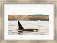 Canada, BC, Sydney Killer whale swimming in the strait of Georgia Fine Art Print
