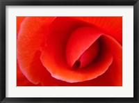 Red Begonia flower, Victoria, British Columbia Fine Art Print
