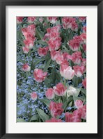 Spring Tulips of Red and White Color, Victoria, British Columbia, Canada Fine Art Print