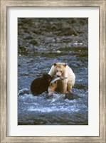 Sow with Cub Eating Fish, Rainforest of British Columbia Fine Art Print