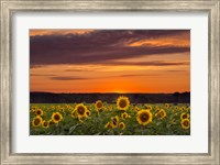 Sunset over Sunflowers Fine Art Print