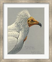 Abyssinian Egyptian Vulture Fine Art Print