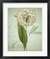 Allium II Fine Art Print