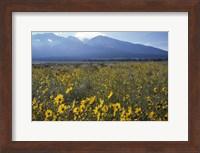 Colorado Mtns Daisies Fine Art Print