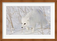 Churchill Arctic Fox Fine Art Print