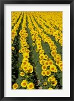 Sunflowers, Provence, France Fine Art Print