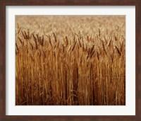 Field of Wheat, France Fine Art Print
