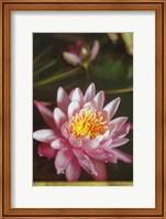 Lotus Fine Art Print