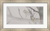 White Wolves In Mist Fine Art Print