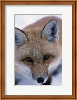 Red Fox And Winter Frost Fine Art Print