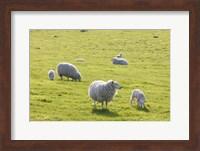 Sheep In The Field Fine Art Print