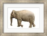 Elephant On White Fine Art Print