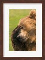 Brown Bear Disbelief Fine Art Print