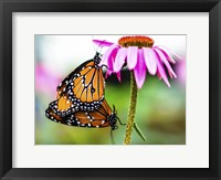 2 Butteflies Hanging Fine Art Print