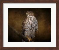 Coopers Hawk Portrait 1 Fine Art Print