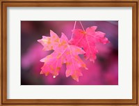 Autumn Color Maple Tree Leaves Fine Art Print