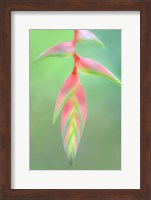 Heliconia Flower, Sarapiqui, Costa Rica Fine Art Print