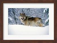 Gray Wolf in Snow Fine Art Print