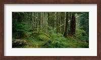 Hoh Rainforest, Olympic National Forest, Washington State Fine Art Print