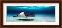 Southern Stingray, Grand Cayman, Cayman Islands Fine Art Print