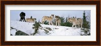 Gray wolves, Massey, Ontario, Canada Fine Art Print