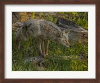 Stalking Coyote Fine Art Print