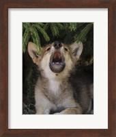 Wolf Pup Howls Fine Art Print