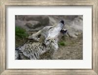 Mexican Wolf Fine Art Print