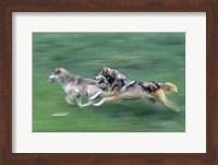 Running Wolves Fine Art Print