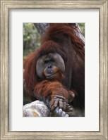 Close Up of Orangutang Fine Art Print