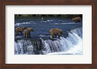 Group of Brown Bears in Lake Fine Art Print