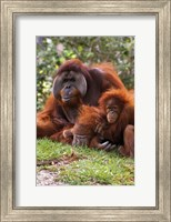 Two Orangutangs in Grass Fine Art Print