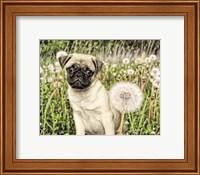 Pug with Dandelion Fine Art Print
