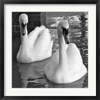 Swans In Love BW Fine Art Print