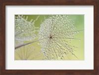 Dewy Dandelion Fine Art Print