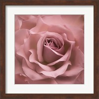 Misty Rose Pink Rose Fine Art Print
