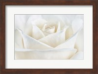 Pure White Rose Fine Art Print