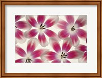 Ruby Red and White Tulips Fine Art Print
