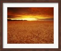 Golden Wheatfields Fine Art Print