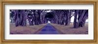Monterey Cypress Trees, Point Reyes, California Fine Art Print