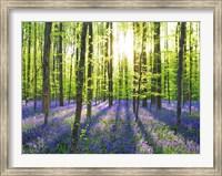 Beech Forest With Bluebells, Belgium Fine Art Print