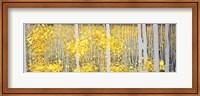 Panor Aspens Grey Forest Fine Art Print