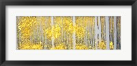 Panor Aspens Grey Forest Fine Art Print