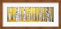 Panor Aspens Yellow Floor Fine Art Print