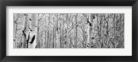 Aspen trees in a forest BW Fine Art Print