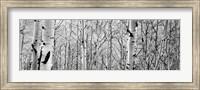 Aspen trees in a forest BW Fine Art Print