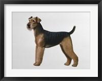 Airdale Terrier Fine Art Print